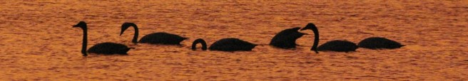 swans-017-2