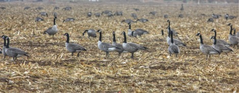 canada geese in corn field for web
