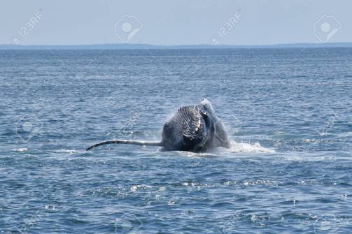 91497460-humpback-whale-breaching-the-surface