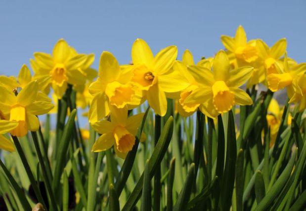 Daffodils_1500-56e890a65f9b5854a9f993d1